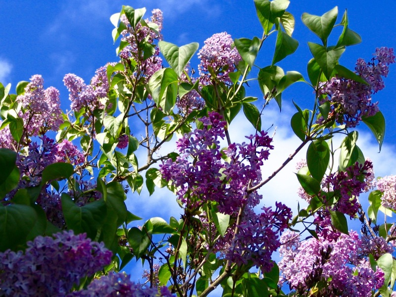 Lilacs, Edinburgh, Scotland,