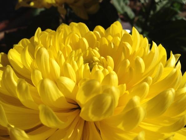 chrysanthemum, L.S.Berthelsen, Meditation,