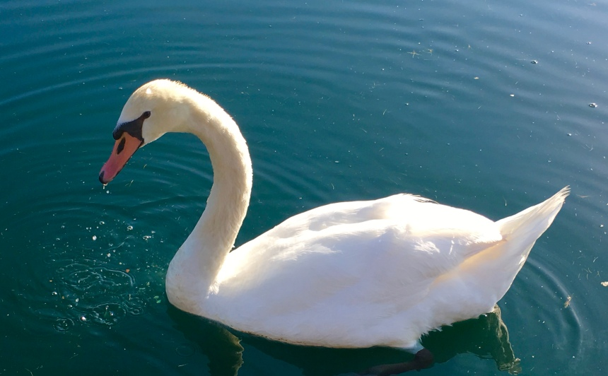 L.S. Berthelsen, Swan, Nature, respect, honor