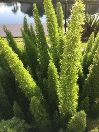 L.S. Berthelsen, foxtail ferns,